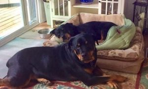 Rottweiler no longer constrained by hip dysplasia