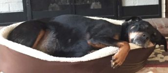 Rottweiler enjoys life overcoming hip dysplasia